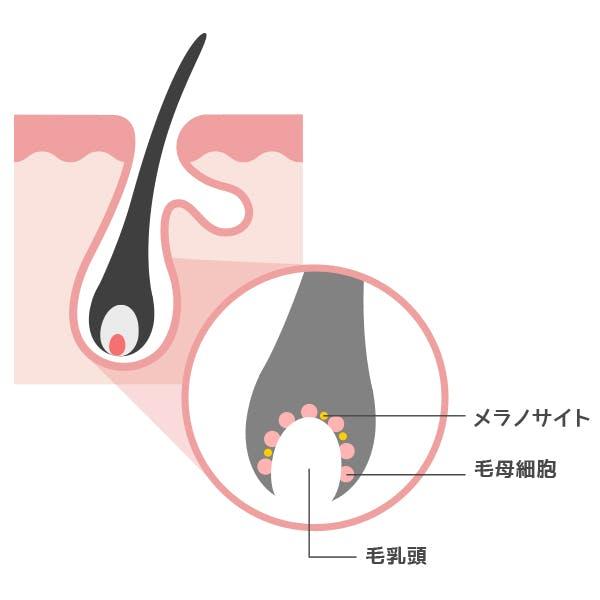 毛母細胞の図