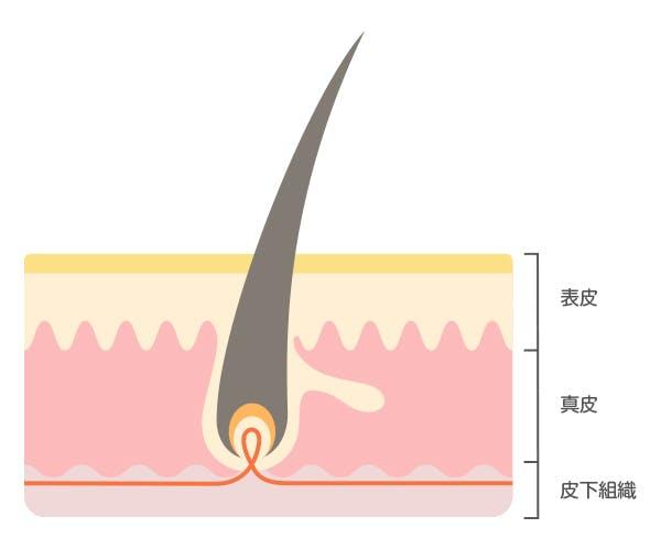 皮膚の構造3_