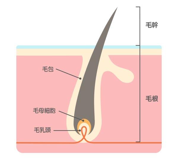 毛の構造イラスト